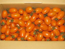產地自銷~~水源保護區--高樹鄉--美濃橙蜜香小蕃茄~~ 皮簿、汁多又甜、現在食用正時候!!!!!
