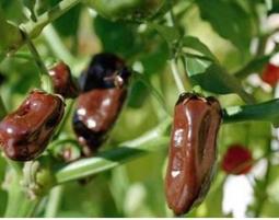 菜根園-墨西哥巧克力辣椒種子