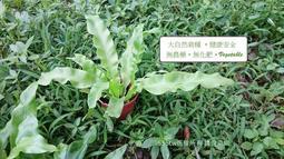 高山山蘇嫩芽盆栽 自然栽種 . 陸龜營養品.蘇卡達.豹龜.紅腿.亞達陸龜.玄鳳 鸚鵡愛吃喔