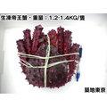 ★築地東京★【生凍帝王蟹,重量:1.2-1.4KG/隻】