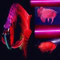 LED植物燈管二呎 / Grow Light T8 60cm / 紅藍光LED燈 / 植物工廠植物燈 / 紅龍增豔 / 冰花培育