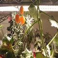 植物工廠高光效植物生長燈管T8四呎.High PPFD Grow Light.LED植物燈能增強作物光合作用.蔬果培育景天科等藥用香草植物燈.藻類養育照明
